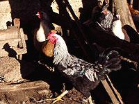 Птичий грипп подбирается к Донецку