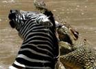 Венгерскому фотографу удалось заснять, как крокодил растерзал зебру. Фото