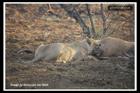 Чудеса в природе. Львица сделала «аборт» антилопе. Необычные  фото