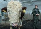 Найден самый огромный бык в Украине. Фото