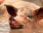 В России 200-килограммовый кабан до смерти затоптал пьяного вора