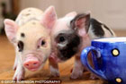 Семейка Бекхэмов решила разводить свиней. Фото