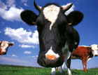 На Житомирщине бешеная корова искусала двух мужчин