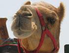 Украинские пограничники вернули в Россию контрабандных верблюдов