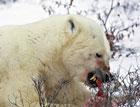 Из-за глобального потепления белые медведи становятся каннибалами /Экологи/