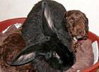 Британский кролик-переросток возомнил себя собакой. Фото