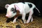 Брат Луценко хотел подсунуть ему свинью. Но ее убили…