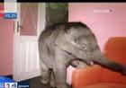 Украинка поселила в своей квартире… слона