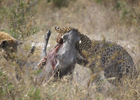 Захочешь жить, не так раскарячишься. Дикая свинья оставила с носом леопарда. Фото