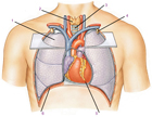 кровеносным сосудам. нагнетающий. артерии. движение.  Схема.  Положение сердца в грудной клетке.  Вид спереди.