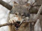 Волки позорные, или Как сказку сделать былью