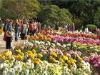 Уникальные хризантемы зацвели в Крыму. Фото