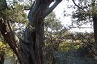 В Крыму обнаружено самое старое дерево в Европе. Высотой с 5-этажку. Фото