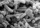 Сенсация. На дне соленого озера в Калифорнии найден новый микроорганизм, который «питается» мышьяком