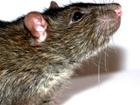 Попов объявил войну столичным крысам