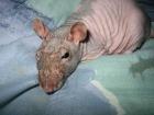 В это страшно поверить, но… Ученые вырастили крыс с человеческим мозгом