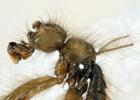 В Африке нашли муху, которая удачно прикидывается пауком. Фото