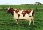 На Житомирщине взбесилась корова из Нарцисовки