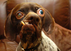 Зато характер покладистый. Самая страшная собака Британии таки обрела хозяйку. Фото