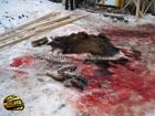 На Черкасщине браконьеры уничтожили лосей. Всех до одного. Фото