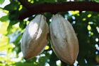 Ученые расшифровали геномы какао и земляники