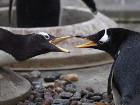 Глупый пингвин робко прячет тело жирное в... бетоне. В Британии появились хрущевки для пингвинов. Фото