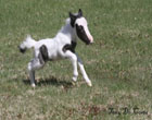 Самая маленькая лошадь в мире. Фото