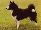 Карельская медвежья собака.