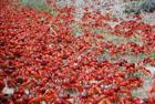Красные наступают. Такого количества крабов вы еще не видели. Фото