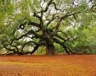 Сложно поверить, что такое бывает. В США растет дуб, который пережил десятки ураганов и наводнений. Фото