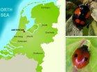 Голландским божьим коровкам так стыдно за человечество, что они покраснели