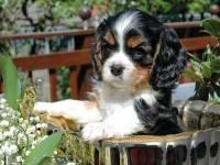Самые дорогие щенки в мире. Лохматые комочки по цене автомобиля. Фото