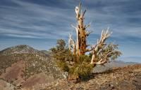 Чего только не бывает в жизни. В Калифорнии до сих пор зеленеет дерово, которому почти 5 тысяч лет. Фото