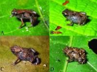 В Папуа-Новой Гвинее найдены самые маленькие в мире лягушки. Эти крохи откладывают всего по две икринки