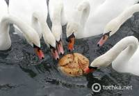 К черту политику. Айда в Словению кормить булочками с изюмом белых лебедей. Фото