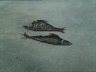 Кушайте на здоровье. Ученые успокоили, что дальневосточная рыба не заражена радиацией