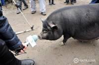 В Одессе устроили поросячьи бега. Сразу почему-то вспомнились украинские выборы. Фото