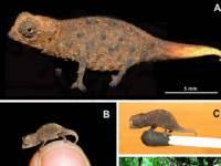 Ученые нашли на Мадагаскаре самого маленького хамелеона на свете. Он прятался до последнего