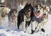 Аляска взвыла по-собачьи. Погонщики гонят своих псов вдоль трасс первых старателей времен «золотой лихорадки»
