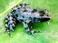 Вот это удача. Зоологи обнаружили пропавший 62 года назад вид длиннопальцевых лягушек