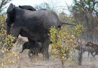 Никогда не обижайте малыша на глазах у его матери, тем более, если эта мать - слониха