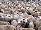«Чтобы передохли волки, нужно, чтобы исчезли овцы – их основной корм. А овец в нашей стране еще хватает». Калейдоскоп неформатных фраз