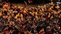 Миграция бабочек. Зрелище, которое можно увидеть только один раз в жзни