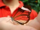 Удивительная бабочка с прозрачными крыльями обитает в Южной Америке