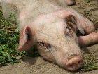 На Запорожье из-за вспышки африканской чумы уничтожено уже 200 свиней