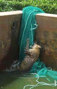 В Индии леопард умудрился выжить, упав в резервуар с водой