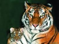 В ялтинском зоопарке родились 6 амурских тигрят