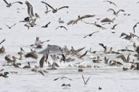 К побережью Калифорнии приплыли горбатые киты