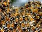 Киевлянам нужно быть внимательными. В столице активизировались шершни, осы и пчелы