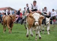 Немцы провели Чемпионат Баварии по скачкам на быках. Правда, быка потом съели... видимо плохо скакал